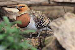 Pin-tailed sandgrouse Stock Images