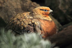 Pin tailed sandgrouse detail Stock Photos