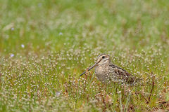 Pin-tailed snipe or pintail snipe ,Gallinago stenura, Sri Lanka, Asia. Bird in the grass. Royalty Free Stock Images