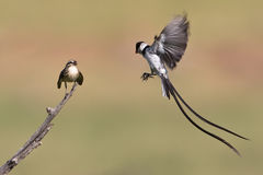 Pin tailed Whydah Royalty Free Stock Photography