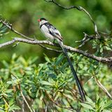 Pin-tailed whydah royalty-vrije stock afbeeldingen