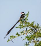 Pin-tailed whydah royalty-vrije stock afbeelding