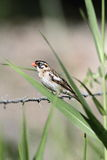 Pin-tailed Whydah Stock Photos