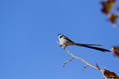 Pin-tailed whydah Royalty-vrije Stock Foto