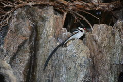 Pin-tailed whydah stock foto's
