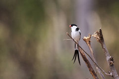Pin-tailed Whydah Royalty Free Stock Images