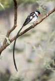 Pin-tailed whydah Stock Photo