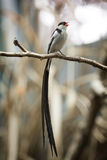 Pin-tailed whydah Royalty Free Stock Photos
