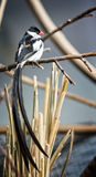 Pin-tailed whydah Stock Image