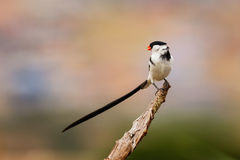 Pin tailed Whydah Royalty Free Stock Photos
