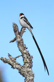 Pin-tailed Whydah (Vidua macroura) Stock Images