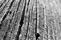 Pin tombé le long des traînées des montagnes Forest National Park, Nevada de ressort photos stock