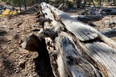 Pin tombé le long des traînées des montagnes Forest National Park, Nevada de ressort photographie stock libre de droits