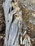 Pin tombé le long des traînées des montagnes Forest National Park, Nevada de ressort photographie stock