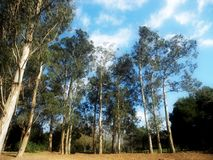 Eucalyptus globulus forest Portugal Stock Photography