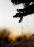 Pin tree with melting ice. Melting ice from a pin tree Stock Image