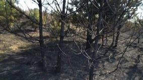 Pin vert avec les arbres brûlés sur le fond, forêt après le feu de forêt, destruction de nature, ébauche dangereuse, écologie clips vidéos