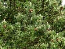 Pin vert-foncé avec beaucoup de cônes de pin Photos libres de droits