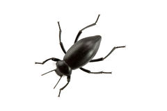 Pinacate Beetle of Genus Eleodes Stock Photography