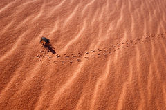 Pinacate Beetle in Sand dune Stock Images