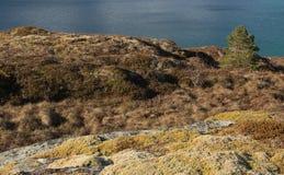 Pinaceae και ωκεανός Στοκ Εικόνα