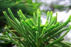 Pinaceae Royalty-vrije Stock Afbeeldingen