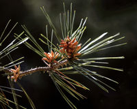 Pinaceae and cone Stock Photography