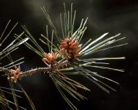 Pinaceae et cône Photographie stock