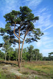 Pinaceae tree and heath in Europe. Pinaceae are resinous trees that about nine genera and 225 species Stock Image