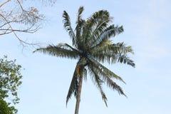 Pinang drzewo Zdjęcie Stock