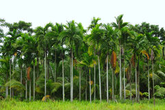 Pinang Palm Tree Royalty Free Stock Photos
