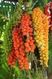 Pinangnoot Stock Fotografie