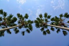 Pinangnotenboom Stock Afbeeldingen