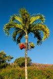Pinangnotenboom het groeien in Kauai stock afbeelding
