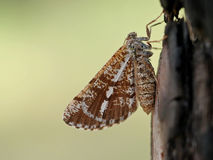 Pinarius Bupalus στοκ φωτογραφία