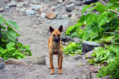 Pinatubo lava dog Stock Image