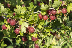 Pinc gooseberry fruits ripen on the branch in the garden. Royalty Free Stock Images