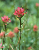 pinceau indien Fente-leaved (rhexifolia de Castilleja) Images stock