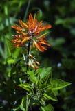 Pinceau indien orange en pleine floraison image libre de droits