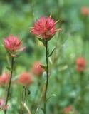 pincel indiano Separação-com folhas (rhexifolia do Castilleja) Imagens de Stock