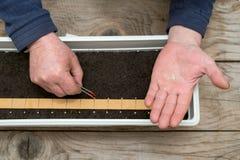 Pincett för hand för bonde` som s hållande planterar exakt frö för pepparplantor royaltyfri bild