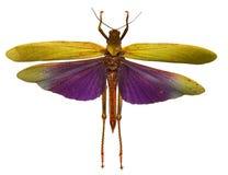 Pincgräshoppa Arkivbild