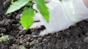 Pinchazo apagado de la planta de tomate metrajes