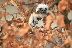 Pinche tamarin Stock Photos
