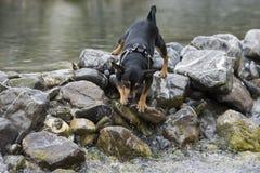 Pincher狗使用 免版税库存图片