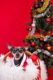 Pincher狗在圣诞树下 库存图片