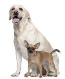 Pincher, 1 Einjahres und Labrador, 4 Jahre alt stockfoto