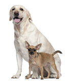 Pincher, 1 year old, and Labrador, 4 years old Stock Photo