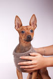 Pincher. Cute miniature pincher in sweater in studio Stock Photos