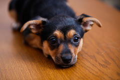 Pincher. Little puppy lying on the floor Royalty Free Stock Images